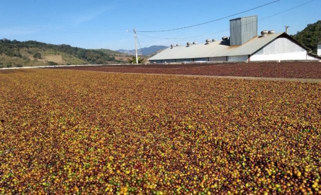 Colheita do café começa na região da Cooxupé; safra deve ser 10% menor